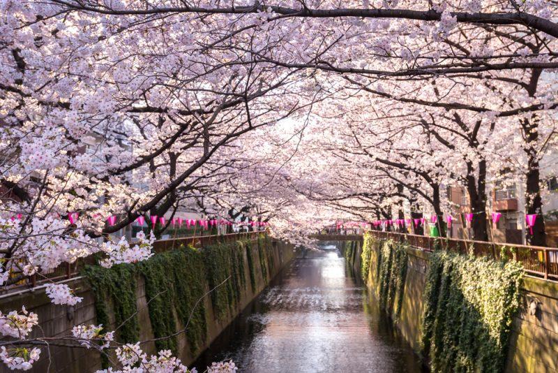 Fioritura fiori di ciliegio Giappone: fiume Meguro